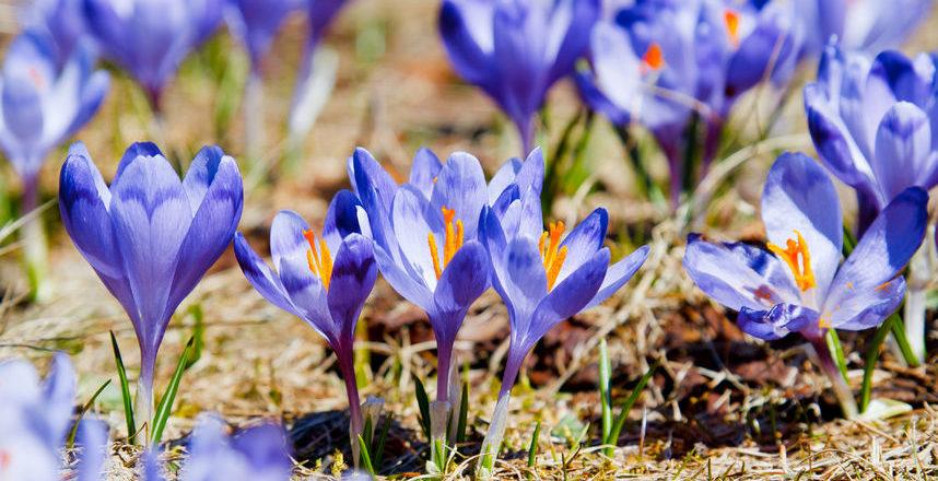 Frühblüher – zauberhafte Vorboten des Frühlings